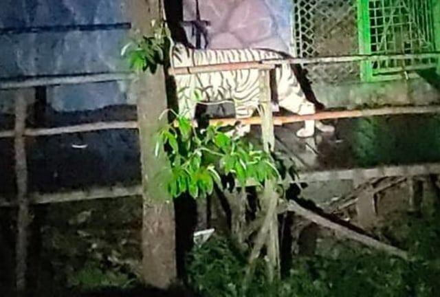 Harimau Tora yang Lepas dari Kandang Sinka Zoo Singkawang Berhasil Ditangkap (454844)