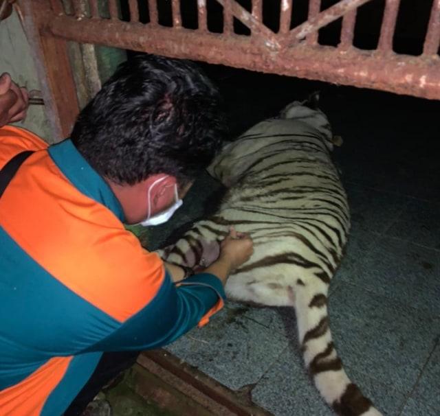 Harimau Tora yang Lepas dari Kandang Sinka Zoo Singkawang Berhasil Ditangkap (454845)