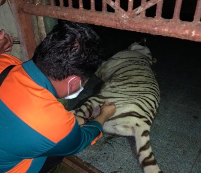 Drama Penangkapan Harimau Tora yang Lepas dari Kandang Sinka Zoo Singkawang (257656)