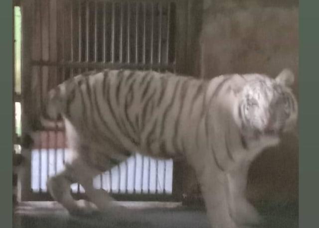 Penjelasan Polisi soal Perbedaan Penanganan 2 Harimau yang Lepas di Sinka Zoo (460588)