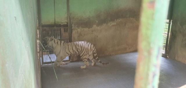 Foto Terkini Suasana Sinka Zoo Usai Harimau yang Lepas Ditangkap Kembali (90974)