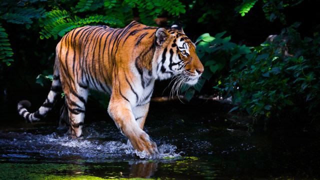 Kalbar Sepekan: Razia Prostitusi hingga 2 Harimau Lepas dari Kandang Sinka Zoo (277189)