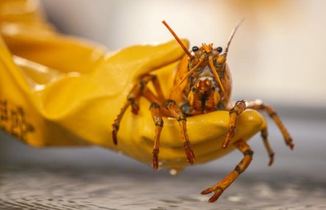 Nelayan Temukan Lobster Langka Berwarna Kuning, Diberi Nama Pisang (108895)
