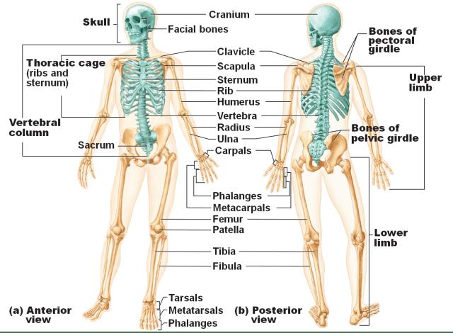 Fungsi Rangka Manusia Sebagai Struktur Penyusun Tubuh (22282)