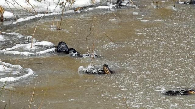 Sejumlah Aligator Terjebak di Air yang Membeku, Ini Penampakannya (153037)
