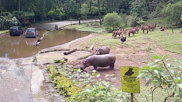 Bahaya Memberi Makan Kuda Nil Sampah Plastik: Sumbatan hingga Kematian (996402)