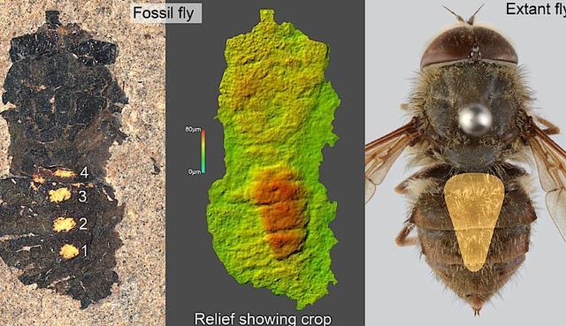 Ilmuwan Buka Perut Fosil Lalat Berusia 47 Juta Tahun, Apa Isinya? -  kumparan.com