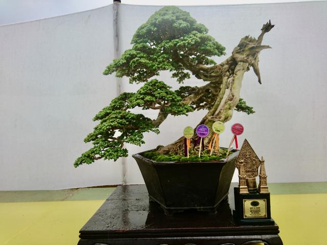 Mengenal Pohon Sancang yang Bisa Dijadikan Bonsai Seharga Miliar (281337)