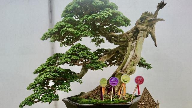 Mengenal Pohon Sancang yang Bisa Dijadikan Bonsai Seharga Miliar (281338)