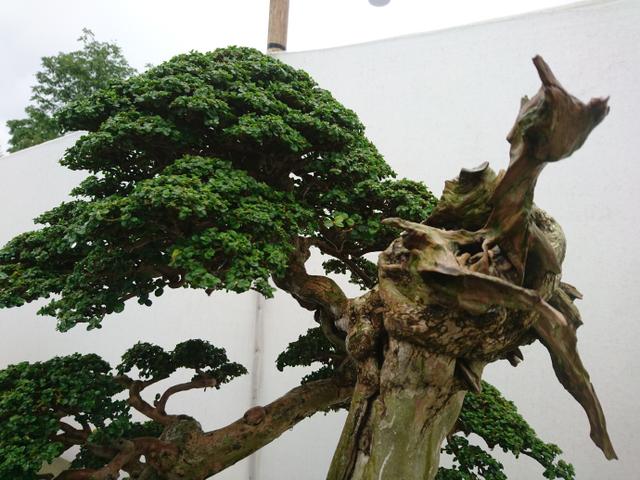 Mengenal Pohon Sancang yang Bisa Dijadikan Bonsai Seharga Miliar (281339)