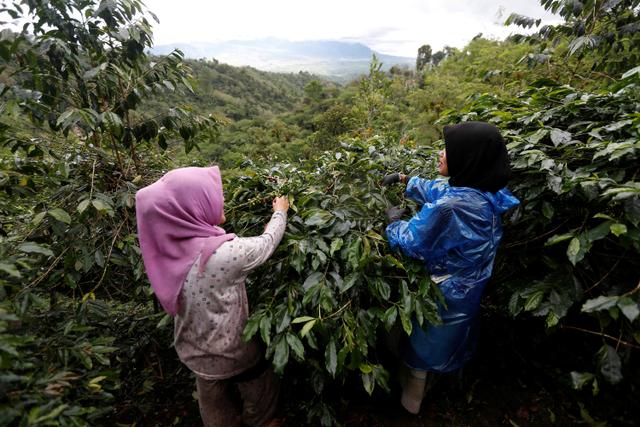 Foto: Melihat Eksistensi dan Semangat Petani Kopi Gayo di Tengah Pandemi (308137)