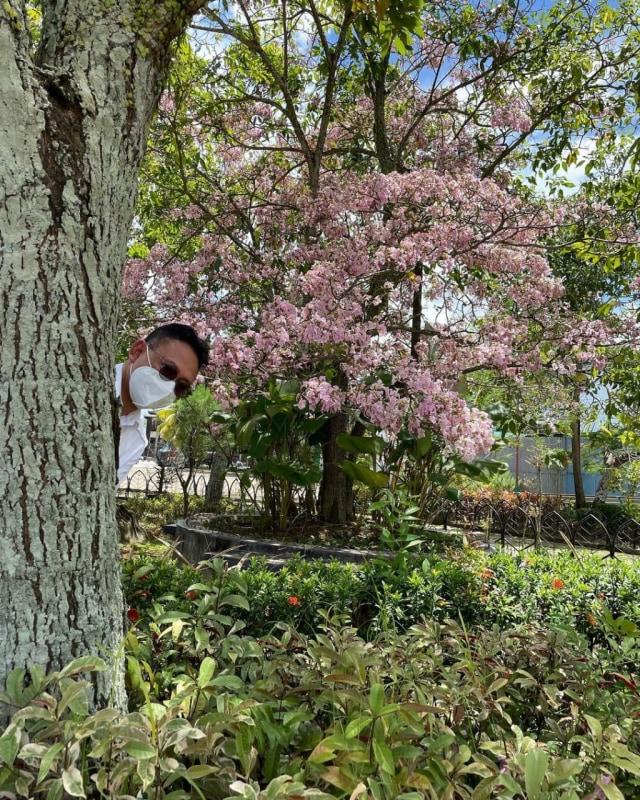Viral: Pontianak Rasa Jepang, Bunga Tabebuya Bermekaran di Jalan (528046)
