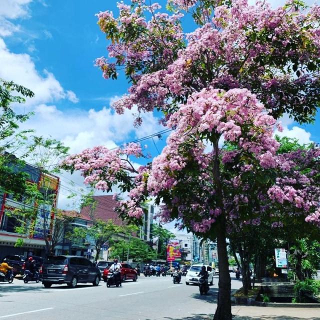 Viral: Pontianak Rasa Jepang, Bunga Tabebuya Bermekaran di Jalan (528047)