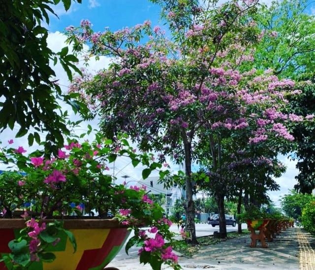 Viral: Pontianak Rasa Jepang, Bunga Tabebuya Bermekaran di Jalan (528048)