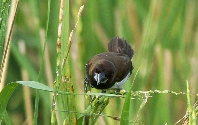 Peneliti LIPI soal Rencana Basmi Burung Emprit di Sleman: Bakal Ganggu Ekosistem (218415)
