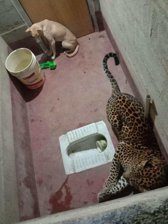 Momen Mendebarkan Evakuasi Anjing Terjebak 7 Jam Bersama Macan Tutul di Toilet  (57624)