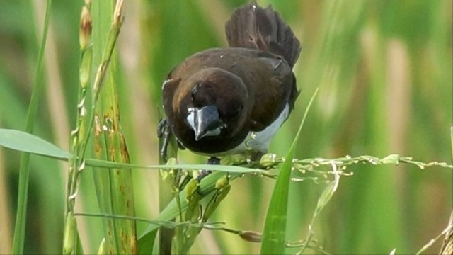 Sleman Butuh Data Populasi Burung Emprit (210750)