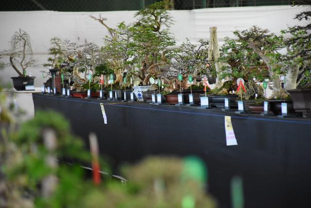 Melihat Kontes Bonsai Seharga Jutaan Rupiah di Kuningan, Jabar (236261)
