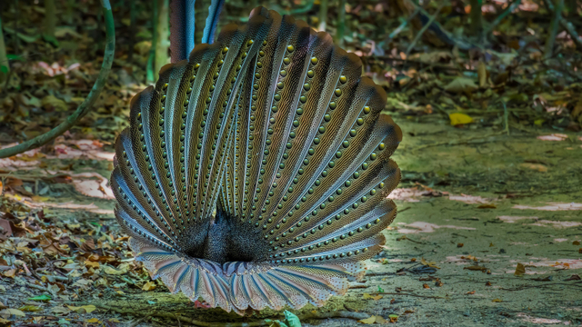 Burung Raksasa Asal Sumatera Ini Punya 100 Mata Tersembunyi (46861)