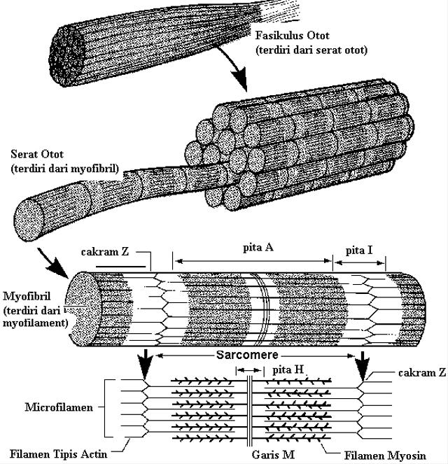Electromyography (EMG), Ketika Otot Rangka Manusia Menghasilkan Listrik (93155)