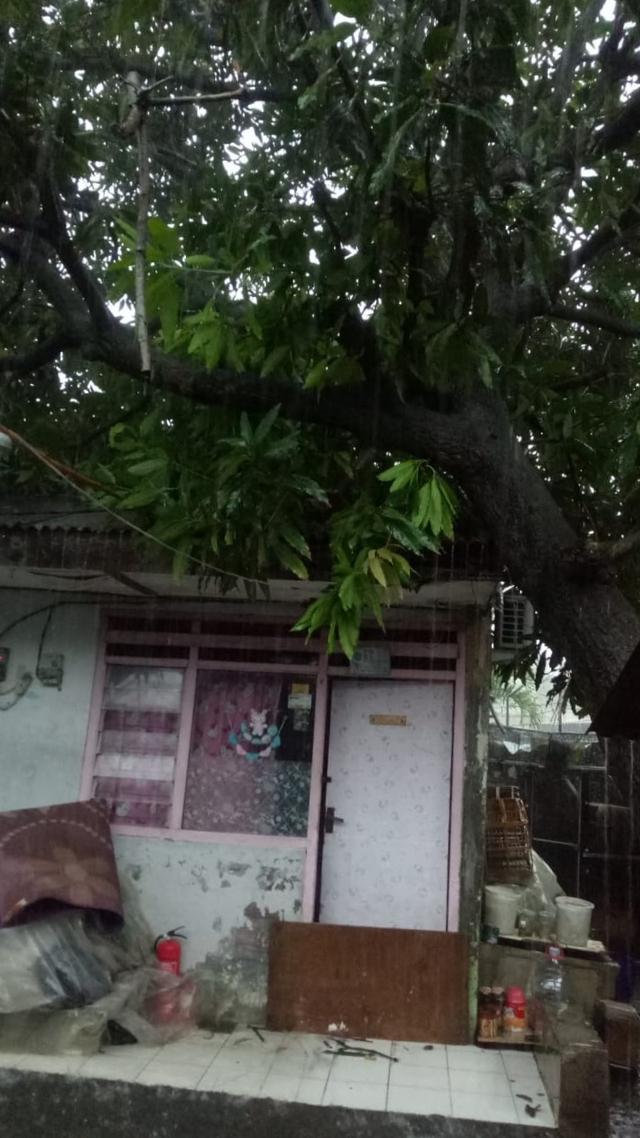 Pohon Tumbang di Kembangan Timpa Rumah Warga (263597)