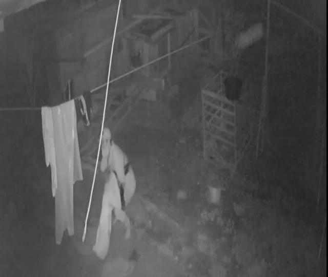 Viral Maling Ayam Bangkok di Kotawaringin Barat Terekam CCTV (234564)