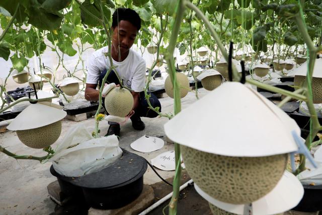 Foto: Petani Malaysia Berhasil Kembangkan Buah Termahal: Melon Jepang (871923)