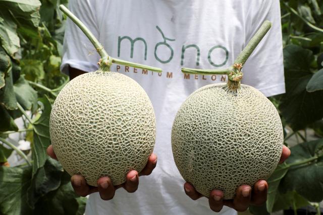 Foto: Petani Malaysia Berhasil Kembangkan Buah Termahal: Melon Jepang (871920)