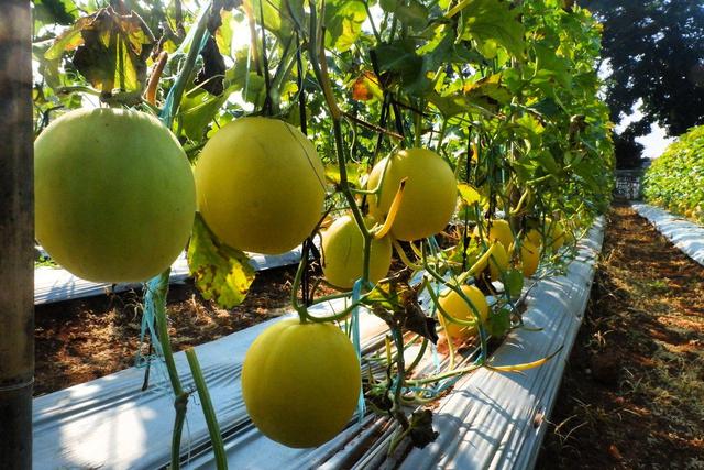 Hari Ini, Agrowisata Melon Unila Resmi Dibuka untuk Masyarakat Umum (333928)