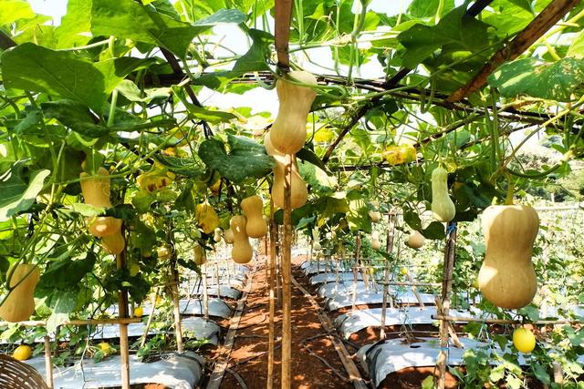 Hari Ini, Agrowisata Melon Unila Resmi Dibuka untuk Masyarakat Umum (333929)