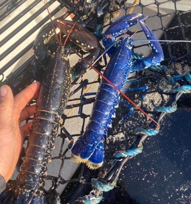 Nelayan Tangkap Lobster Biru Super Langka, Awalnya Dikira Ikan (200709)