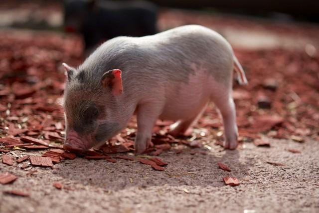 User Story Pilihan: Babi Ngepet, Larangan Mudik Keserimpet (57841)