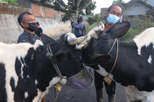 Lebaran Sapi, Tradisi Unik Arak-arakan Hewan Ternak Warga Lereng Gunung Merapi (1102676)