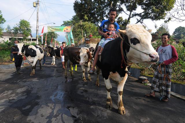 Lebaran Sapi, Tradisi Unik Arak-arakan Hewan Ternak Warga Lereng Gunung Merapi (1102674)