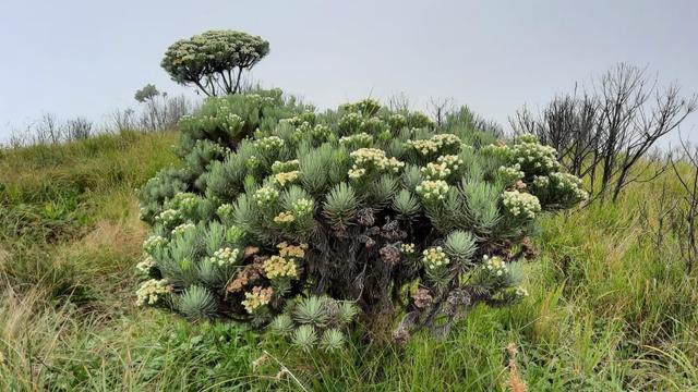Setahun Ditutup, Gunung Merbabu dalam Kondisi Terindah untuk Didaki (9651)
