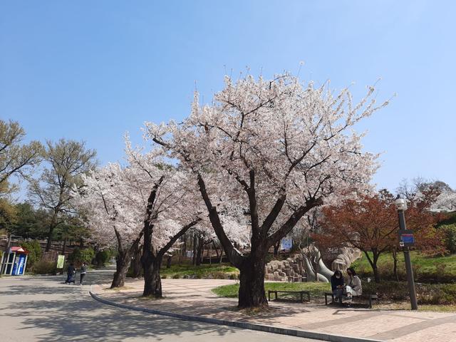 Lokasi Terbaik Melihat Sakura Mekar di Seoul, Korea Selatan (592809)