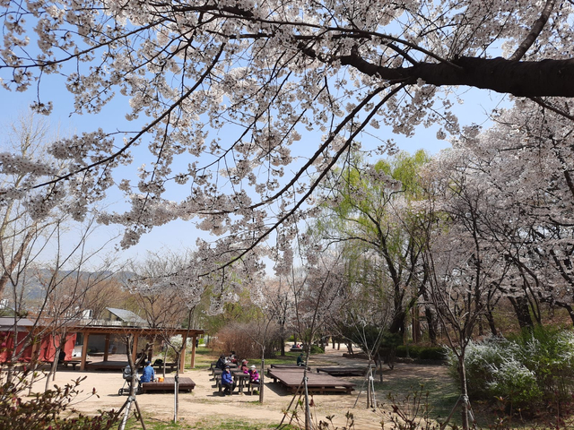 Lokasi Terbaik Melihat Sakura Mekar di Seoul, Korea Selatan (592810)