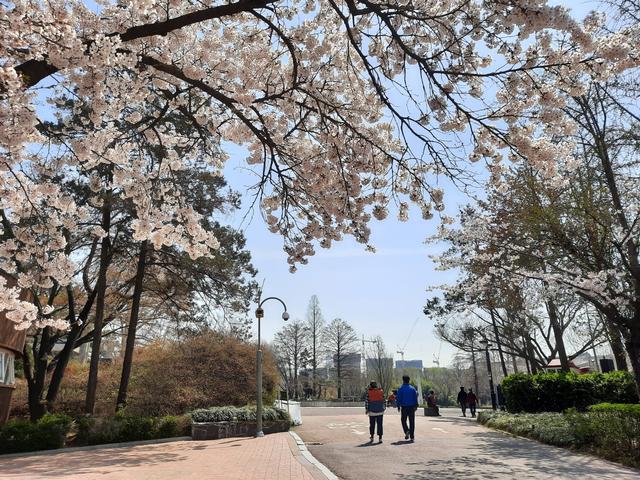 Lokasi Terbaik Melihat Sakura Mekar di Seoul, Korea Selatan (592811)