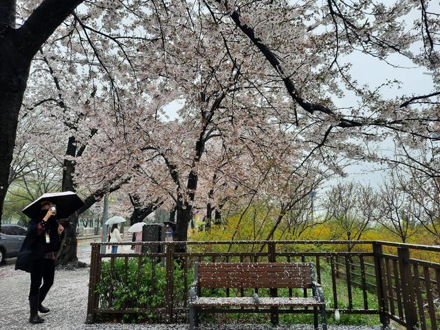 Lokasi Terbaik Melihat Sakura Mekar di Seoul, Korea Selatan (592800)