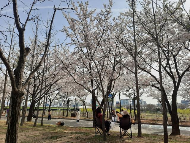 Lokasi Terbaik Melihat Sakura Mekar di Seoul, Korea Selatan (592803)