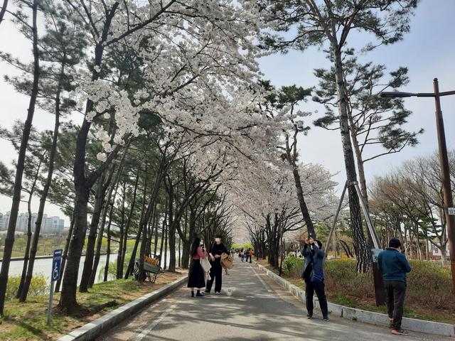 Lokasi Terbaik Melihat Sakura Mekar di Seoul, Korea Selatan (592804)