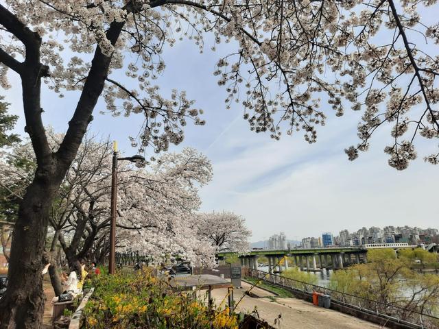 Lokasi Terbaik Melihat Sakura Mekar di Seoul, Korea Selatan (592805)