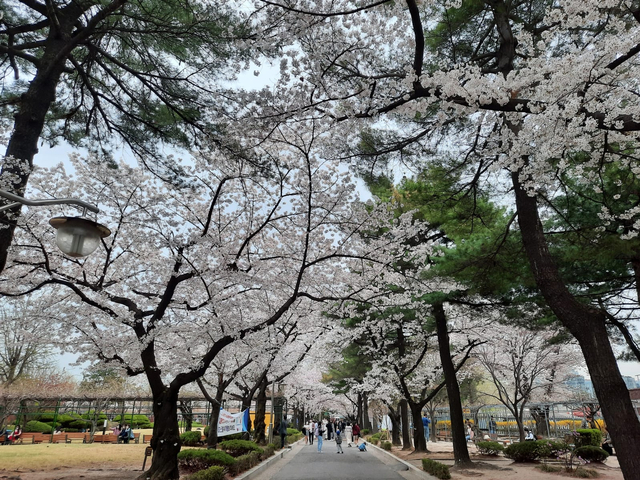 Lokasi Terbaik Melihat Sakura Mekar di Seoul, Korea Selatan (592808)