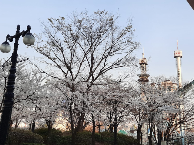 Lokasi Terbaik Melihat Sakura Mekar di Seoul, Korea Selatan (592812)