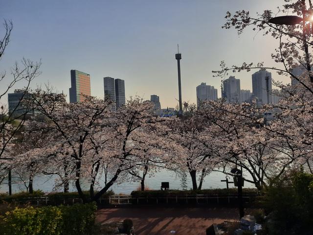 Lokasi Terbaik Melihat Sakura Mekar di Seoul, Korea Selatan (592813)