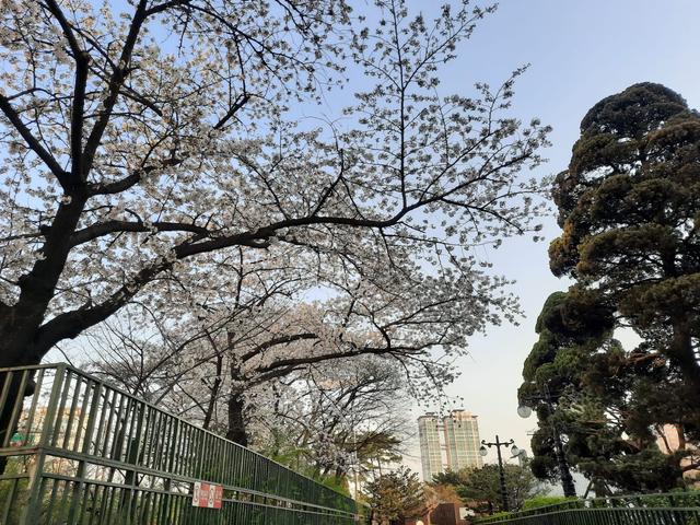 Lokasi Terbaik Melihat Sakura Mekar di Seoul, Korea Selatan (592814)