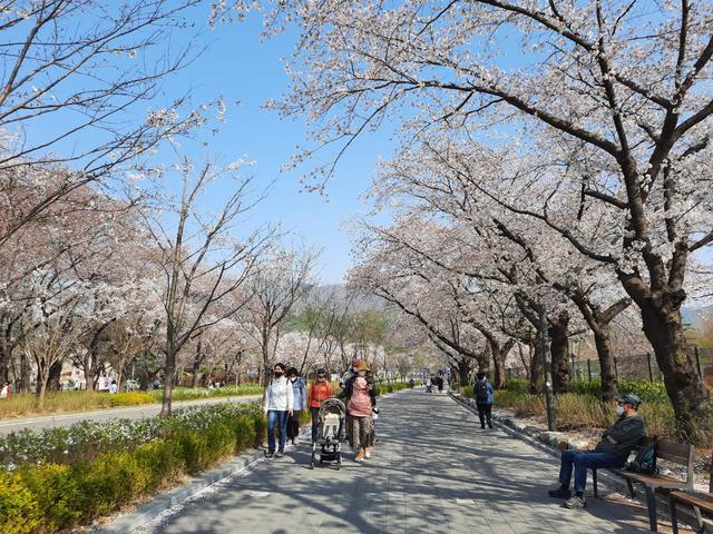 Lokasi Terbaik Melihat Sakura Mekar di Seoul, Korea Selatan (592815)