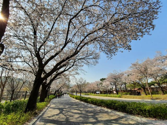 Lokasi Terbaik Melihat Sakura Mekar di Seoul, Korea Selatan (592816)