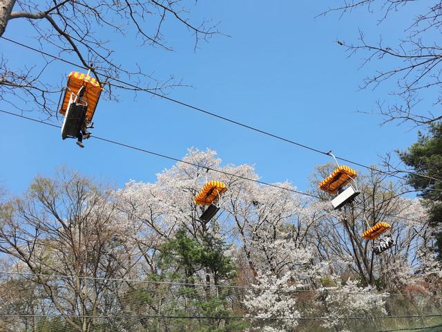 Lokasi Terbaik Melihat Sakura Mekar di Seoul, Korea Selatan (592817)