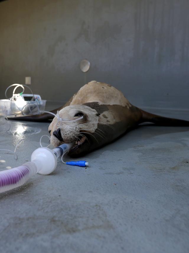 Foto: Singa Laut California Mengidap Kanker (3927)